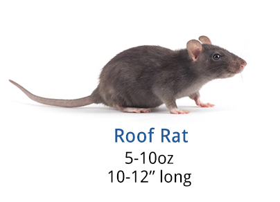 How To Get Rid Of Roof Rats Diy Roof Rat Control