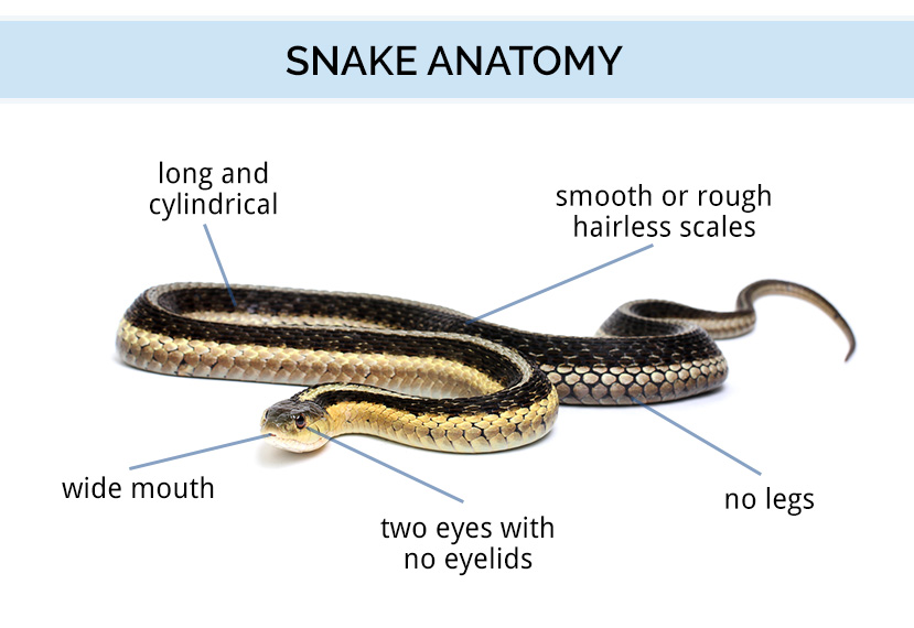 Snake mouth anatomy