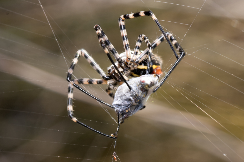 The thought of having a venomous spider such as a brown recluse or black widow in your home is very scary. The good news is that these spiders are no harder ...