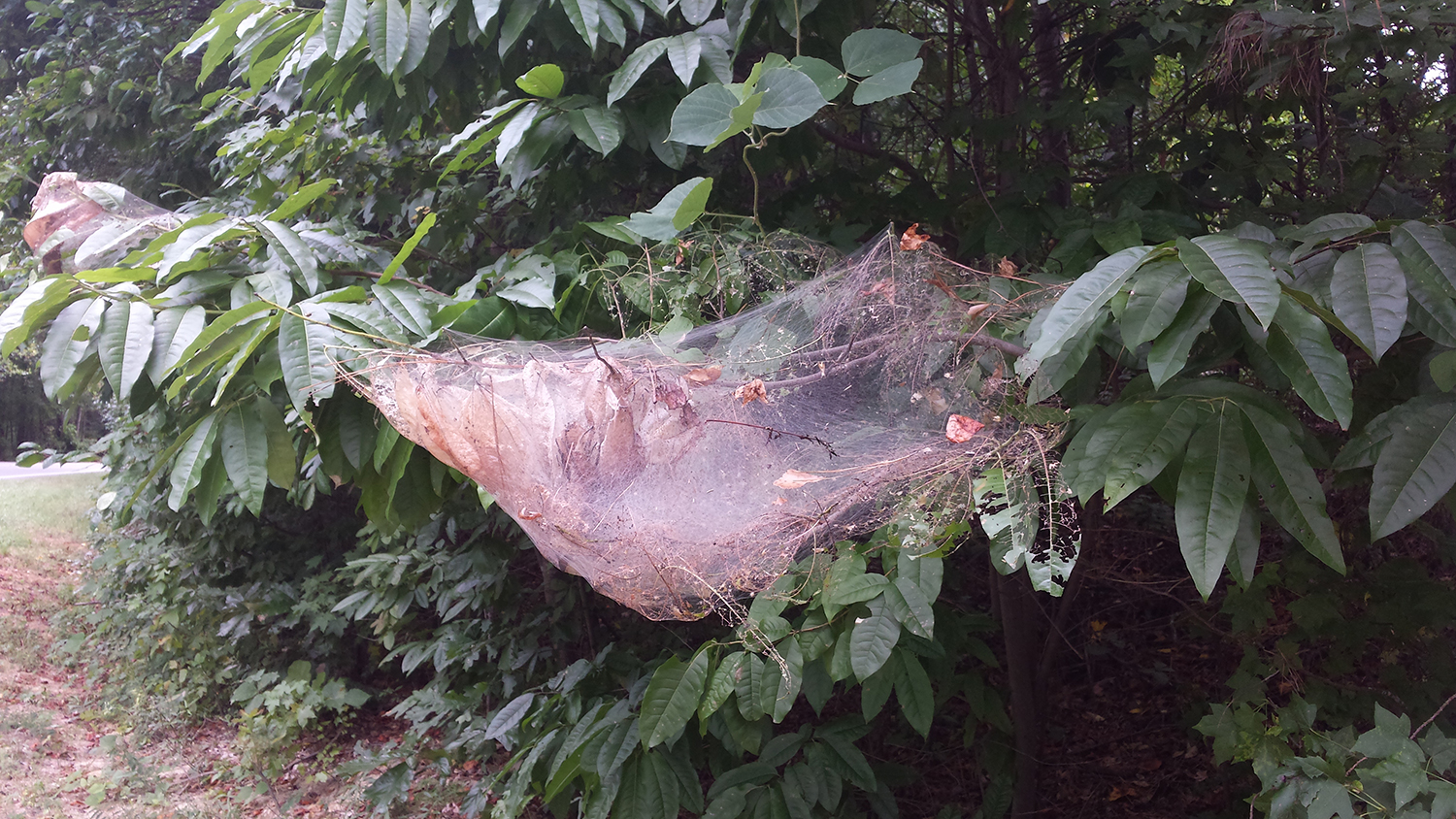 tent caterpillar web in tree