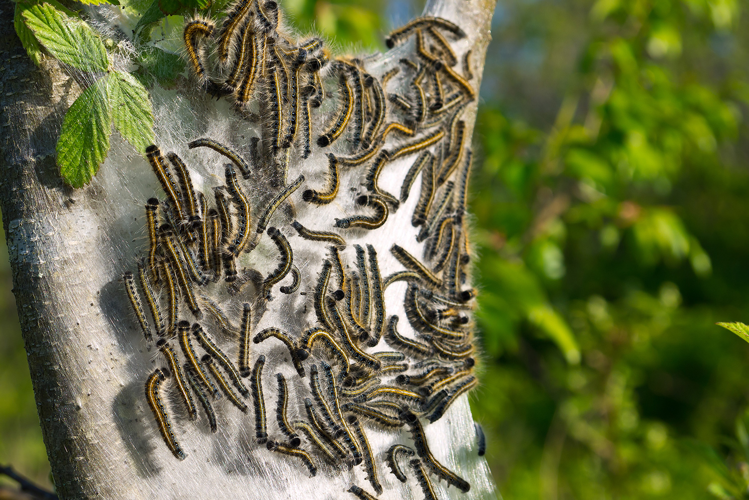 tent caterpillars on web