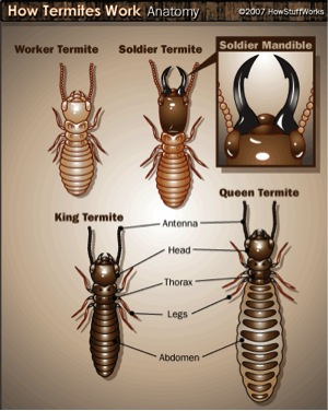 Termites - All About Termites - Facts, Life Cycle, Reproduction ... Queen Termite Anatomy