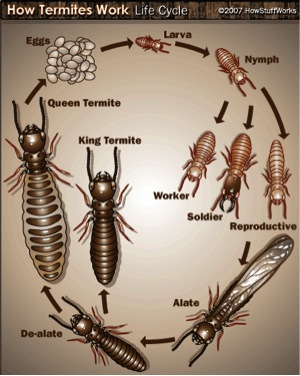 Termites - All About Termites - Facts, Life Cycle, Reproduction ...