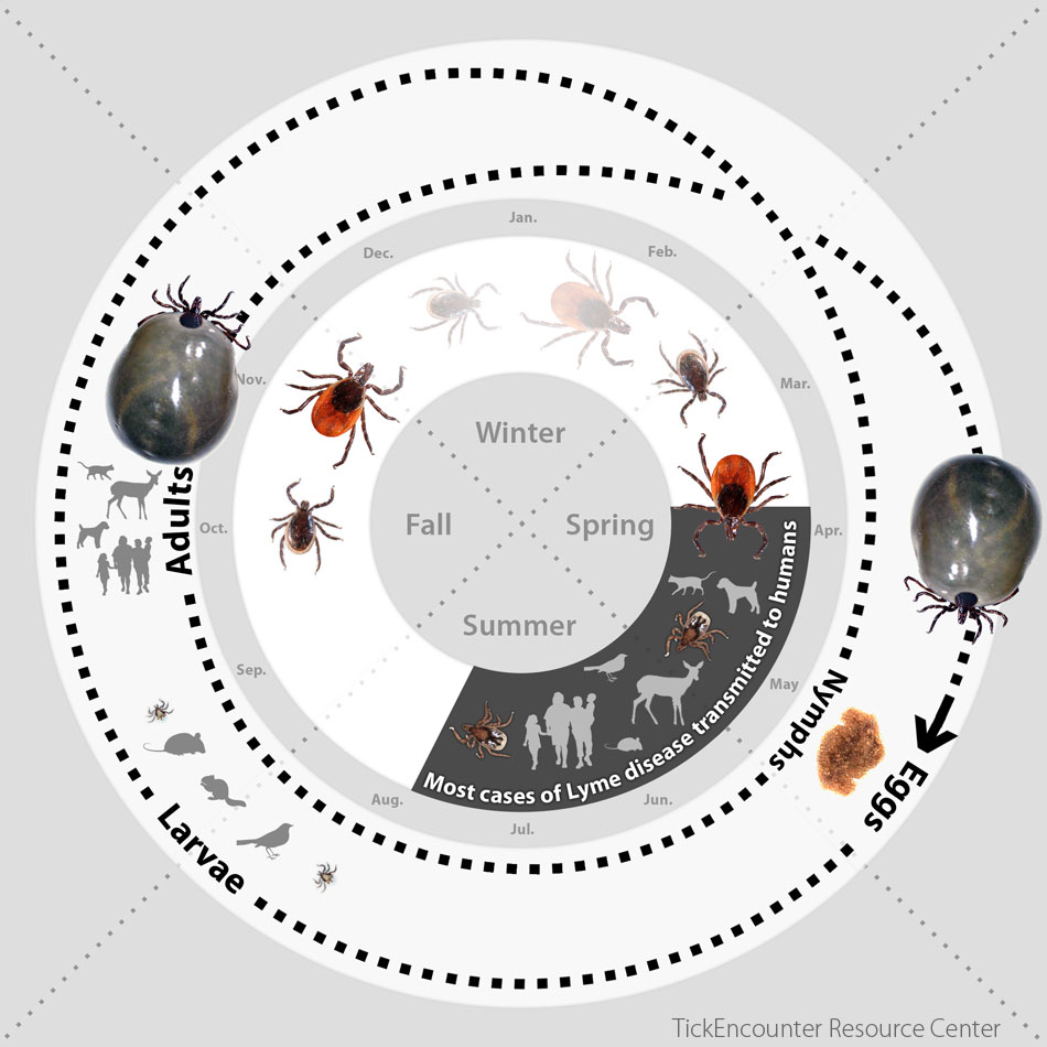 Tick Size Comparison Showing Sizes At Diffe Life Stages In The Cycle