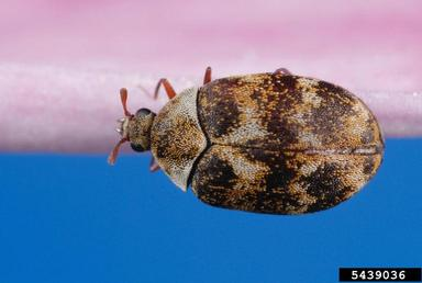 varied carpet beetle picture 2