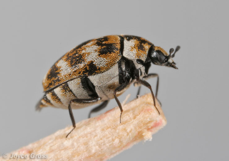 Carpet Beetles Treatment & Control | How to Get Rid of