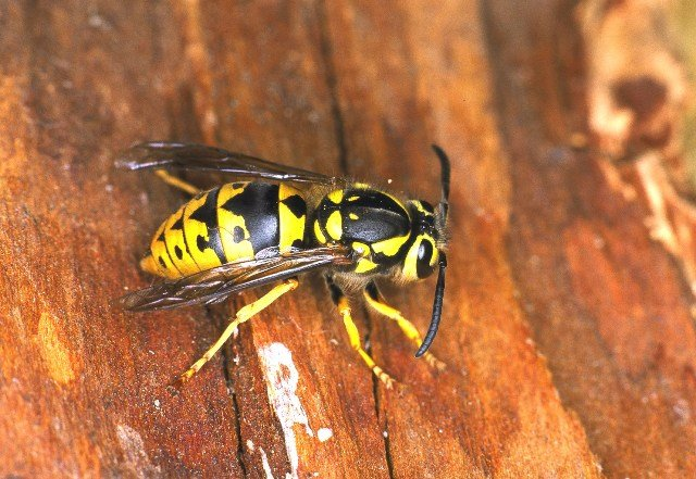 Wasp & Hornet picture 2