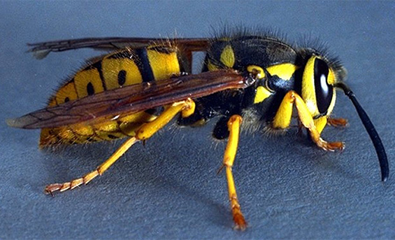 Wasp & Hornet picture 3