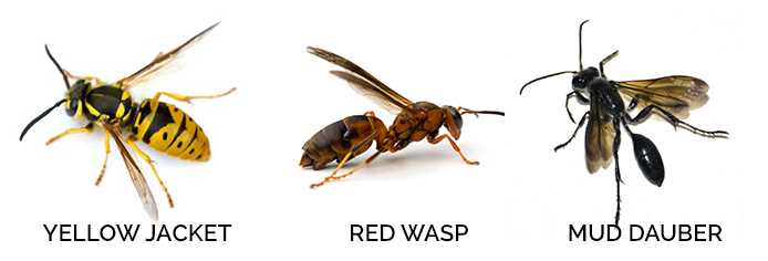 Wasp & Wasp Nest Identification - What Does a Wasp Look Like