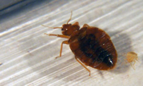 What Do Bed Bugs Look Like Adult Bed Bugs Are to