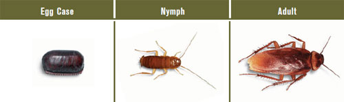 American Roach ID and Pictures