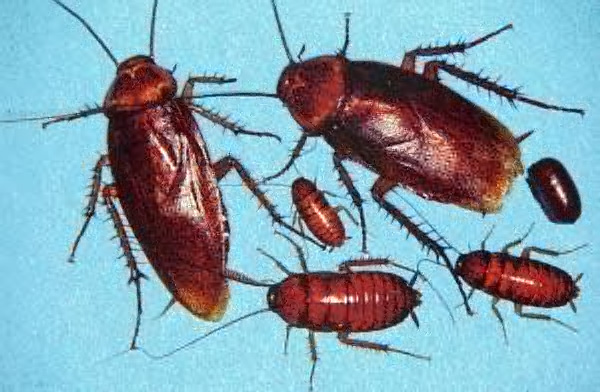 American Roach - All Stages of life cycle