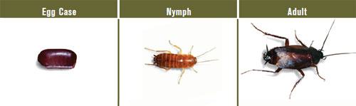 Stages of an oriental cockroach