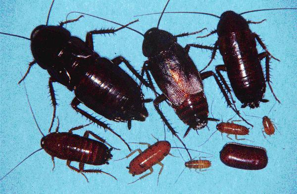 Oriental Roach - all stages of life cycle. Getting rid of this pest requires