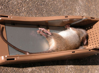 Rodent terminator - Construir trampa para ratas ...