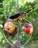 Songbird Essentials Johnny Apple Bird Feeder (SEHHAPPL)