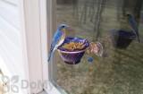 Songbird Essentials Copper Bluebird Mealworm Window Feeder (SEHHBBWF)