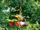 Songbird Essentials Fruit and Jelly Bird Feeder (SEHHFRJL)