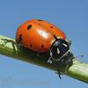 Orcon Ladybugs (1500 ladybugs) (LB-R1500)