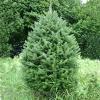 BL Balsam Fir Christmas Tree 7 - 8 Ft (Week 2 - 12/8)