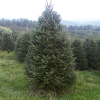 BL Fraser Fir Christmas Tree 7 - 8 ft (Week 1 - 12/1)