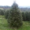 BL Fraser Fir Christmas Tree 7 - 8 Ft (Week 2 - 12/8)