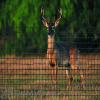 Tenax Deer Fence C Flex HD Pro 8' x 165'