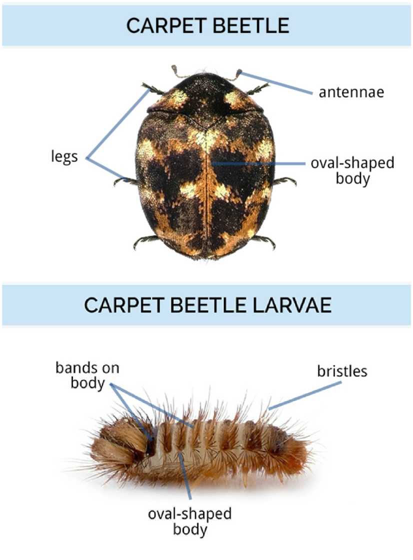 Carpet Beetle Larvae Identification Www Stkittsvilla Com