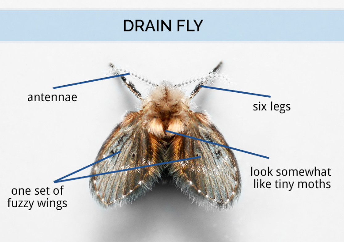 what are drain flies drain fly identification. Black Bedroom Furniture Sets. Home Design Ideas
