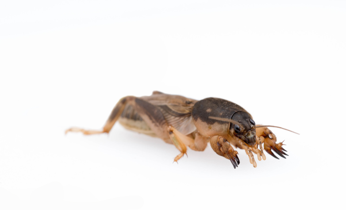 Do It Yourself Home Design: Mole Cricket Bait & Insecticide Products