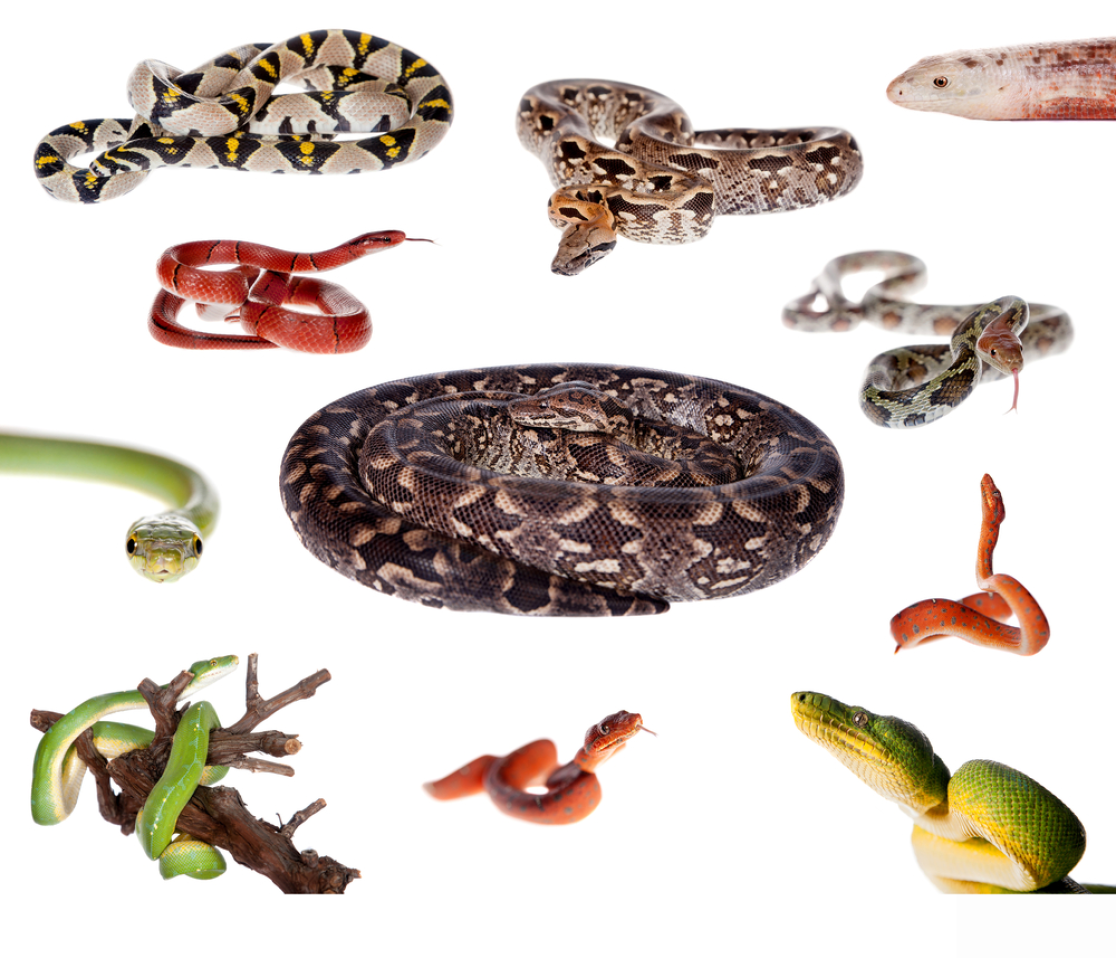 Snake Identification, Anatomy, & Life Cycle - Types of Snakes